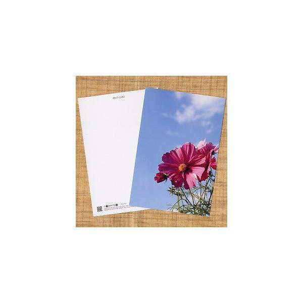 花のポストカード コスモス(ピンク)2 horiya-studio