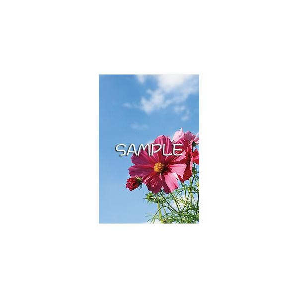 花のポストカード コスモス(ピンク)2 horiya-studio 02