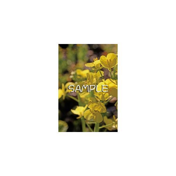 花のポストカード ナノハナ|horiya-studio|02