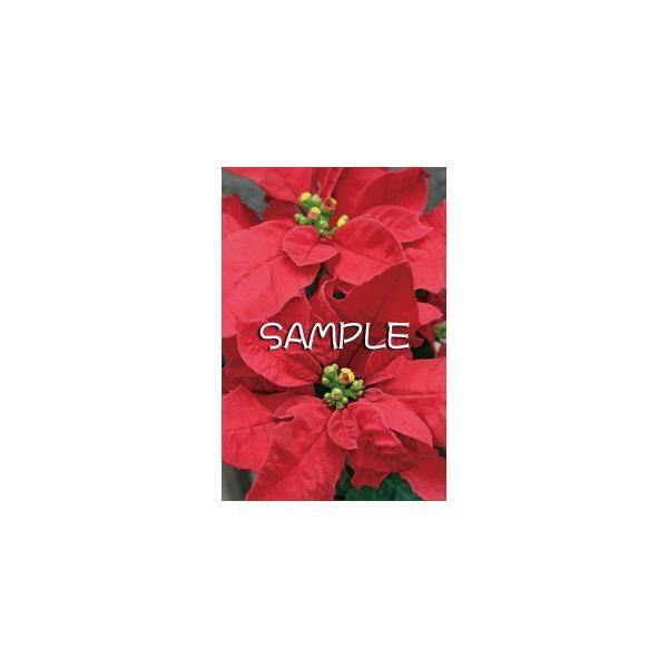 花のポストカード ポインセチア|horiya-studio|02