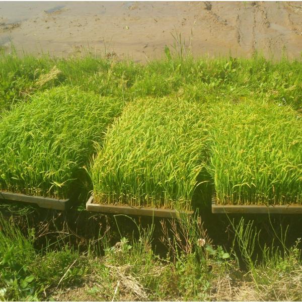 平成30年産長野県飯山産コシヒカリ白米 500グラム×2個 送料無料|hoteiya-net|04