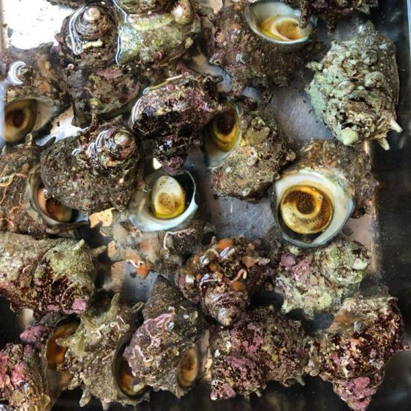 国産 活サザエ 約1kg(1個約100〜130gサイズ) サザエ さざえ 栄螺|i-ichiba