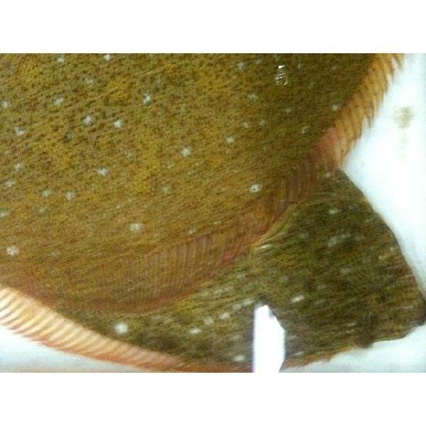 ヒラメ 活〆 約0.9-1.2kg 平目 ひらめ|i-ichiba|05