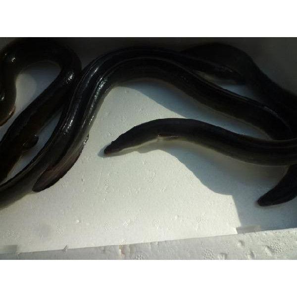活 ウナギ 国産(愛知または静岡産) 4尾(1尾あたり250g前後) 約1kg   鰻 うなぎ|i-ichiba|04