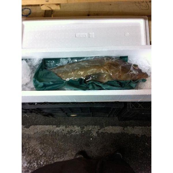 送料無料 活〆クエ  1尾 約3kg−4kg くえ 幻の高級魚 ★築地 i-ichiba 03