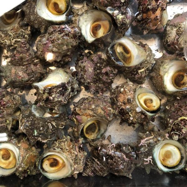 国産 活サザエ 約1kg(1個約80〜100gサイズ) サザエ さざえ 栄螺|i-ichiba