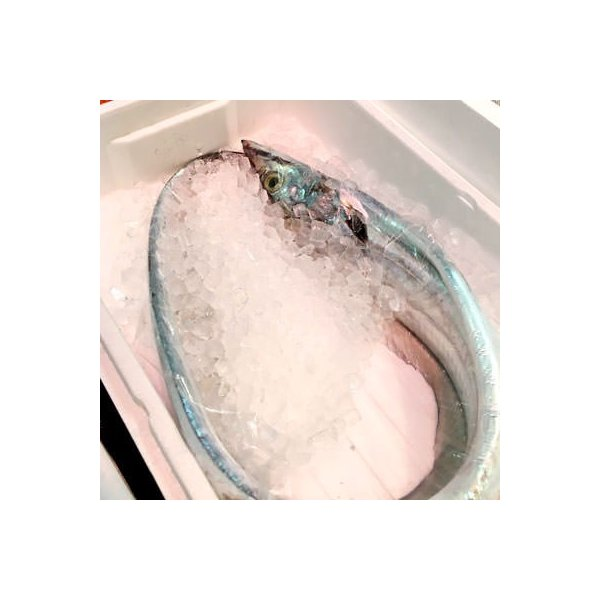 生 天然 太刀魚 タチウオ 丸一本 約2kg  和歌山/九州産 他 築地直送