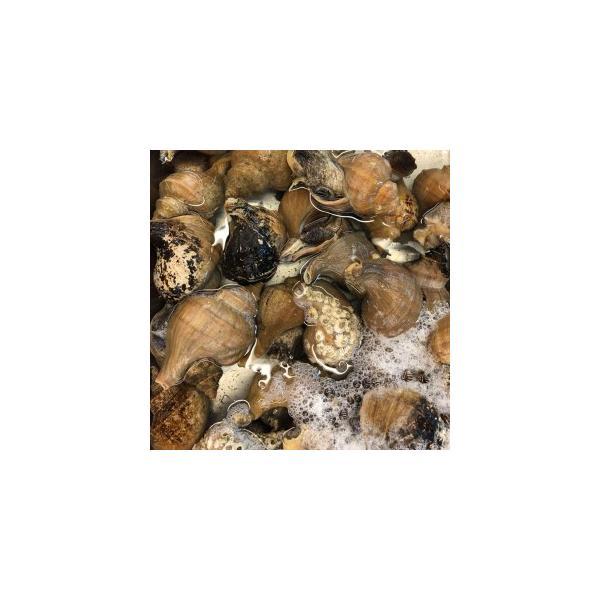 国産 活磯ツブ貝 殻付き 約1kg つぶ貝 粒貝