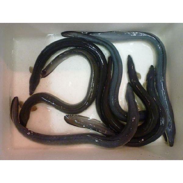 活 うなぎ 国産 1尾 約160-170g 6Pサイズ  鰻 ウナギ i-ichiba 02