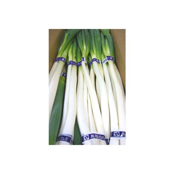 柔らかく風味豊 鳥取県産 白ねぎ 1箱3kg 送料無料