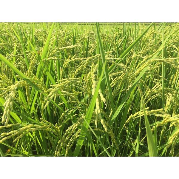 iizuna-marche_iizuna-rice-sasanish04