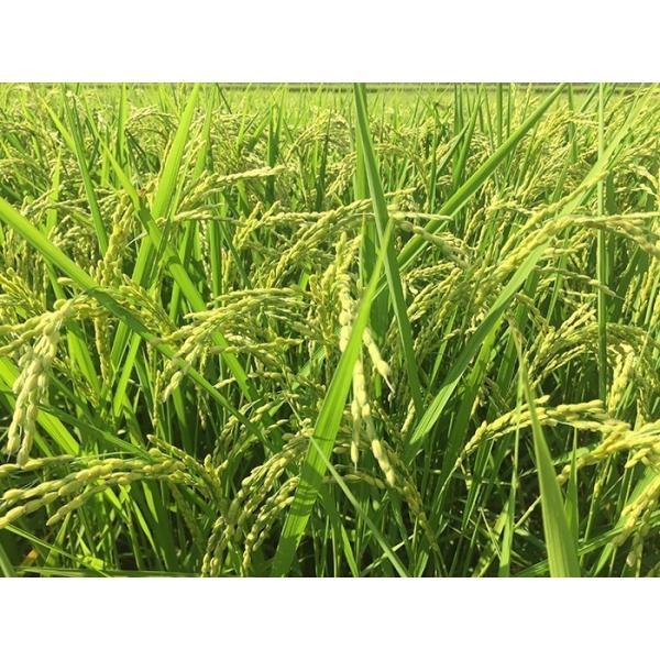 iizuna-marche_iizuna-rice-sasanish07