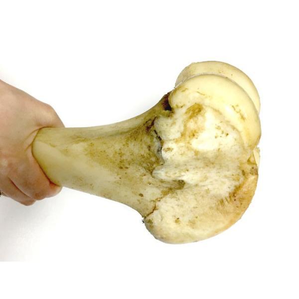 犬 おやつ 骨 無添加 国産 神戸牛の牛骨 げんこつ有 中 1本700〜899g イリオスマイル ポイント消化|iliosmile|02