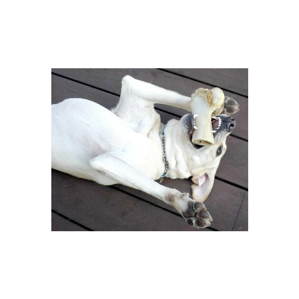 犬 おやつ 骨 無添加 国産 神戸牛の牛骨 げんこつ有 中 1本700〜899g イリオスマイル ポイント消化|iliosmile|03