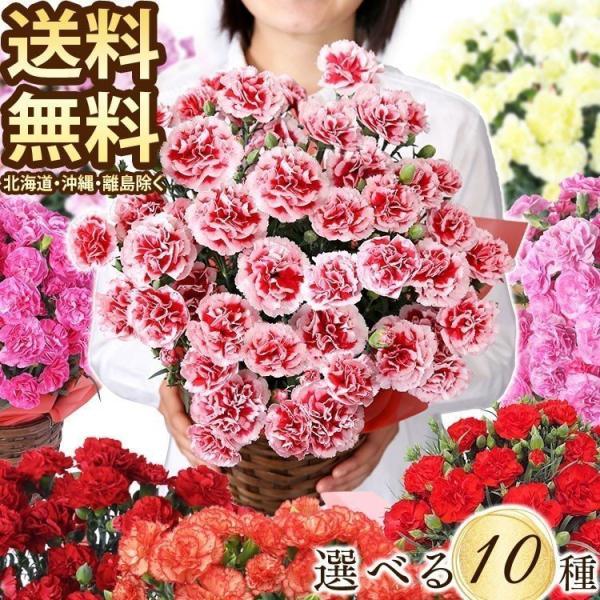 敬老の日 プレゼント 花 ギフト 菊 ピンポンマム 鉢植え メッセージカード(代引不可) (ニッセン後払い不可) (日時指定不可)|irisplaza