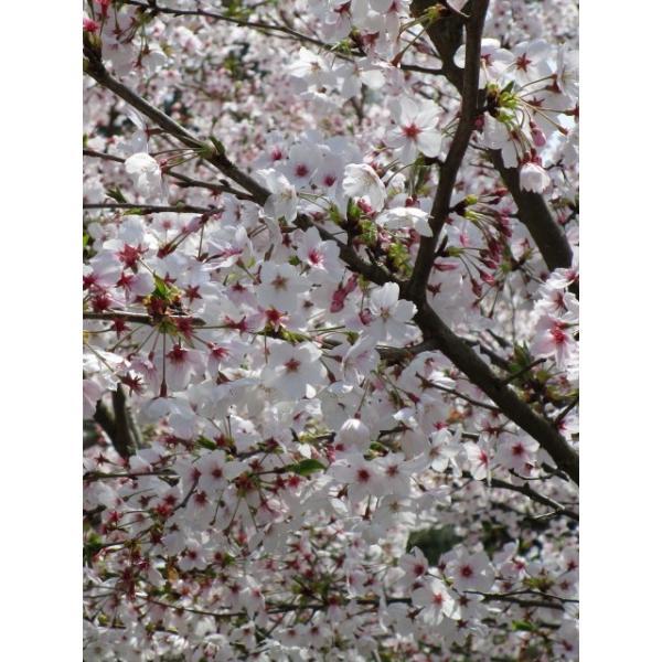 はちみつ 国産はちみつ 蜂蜜 ハチミツ 愛媛県産 桜の蜜 さくら サクラ 1Kg|iroha-beebeey|03