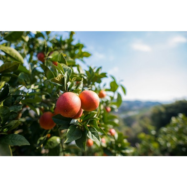 JAえひめ南のブラッドオレンジ(家庭用) 2Sから2Lサイズ込 5キロ モロ 愛媛県より産地直送 |jaehimeminami|04
