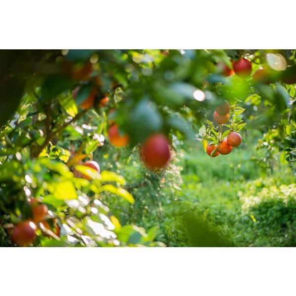 JAえひめ南のブラッドオレンジ(家庭用) 2Sから2Lサイズ込 5キロ モロ 愛媛県より産地直送 |jaehimeminami|05