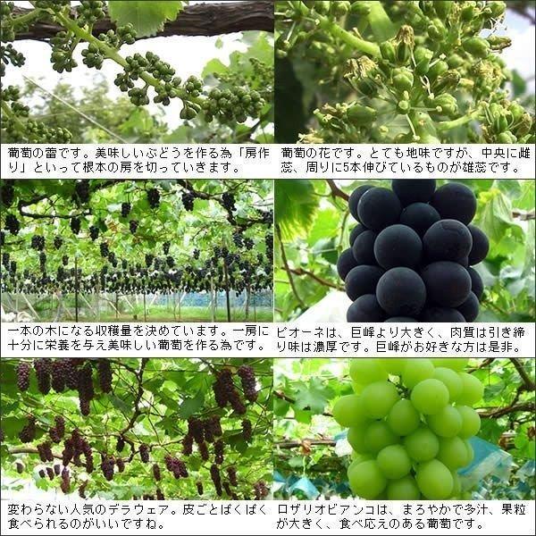 お中元 御中元 ギフト フルーツ ぶどう 葡萄 ブドウ ハウス シャインマスカット|jerichojericho|03