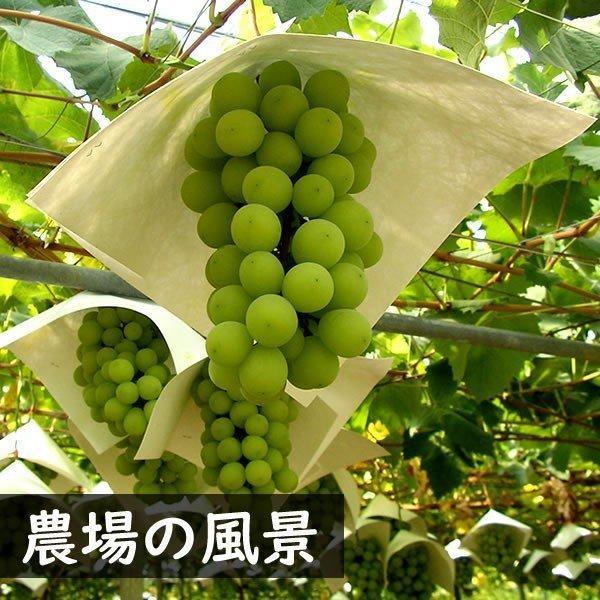 お中元 御中元 ギフト フルーツ ぶどう 葡萄 ブドウ ハウス シャインマスカット|jerichojericho|04