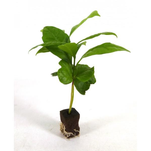コーヒーの木 オアシス苗 観葉植物/ハイドロカルチャー/水耕栽培/インテリアグリーン julli
