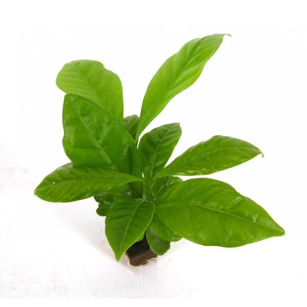 コーヒーの木 オアシス苗 観葉植物/ハイドロカルチャー/水耕栽培/インテリアグリーン julli 02