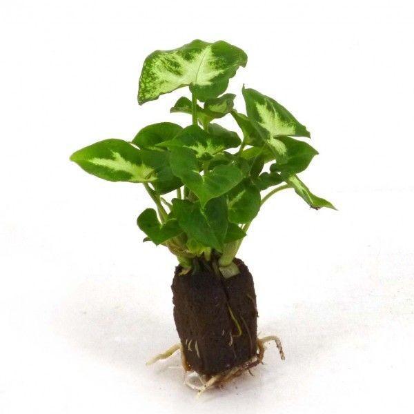 シンゴニウム ピクシー オアシス苗 観葉植物 ハイドロカルチャー 水耕栽培 インテリアグリーン