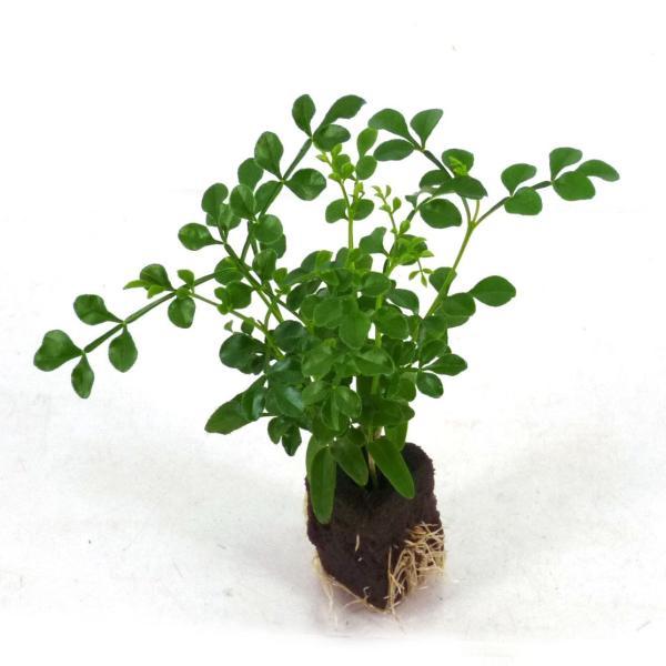 トネリコ オアシス苗 観葉植物/ハイドロカルチャー/水耕栽培/インテリアグリーン julli
