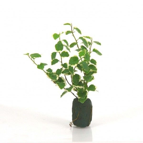 フィカス プミラ サニーホワイト オアシス苗 観葉植物 ハイドロカルチャー 水耕栽培 インテリアグリーン