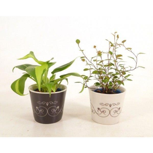 リトルステラ 1.5号苗 観葉植物 ハイドロカルチャー 水耕栽培 インテリアグリーン