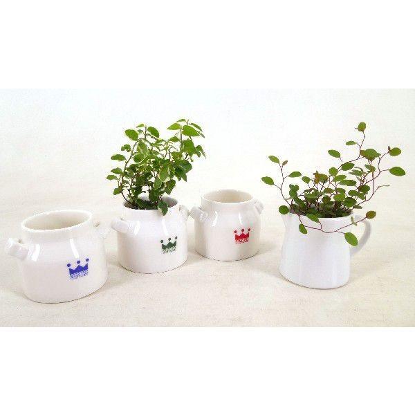 リトルミルク 1.5号苗 観葉植物 ハイドロカルチャー 水耕栽培 インテリアグリーン