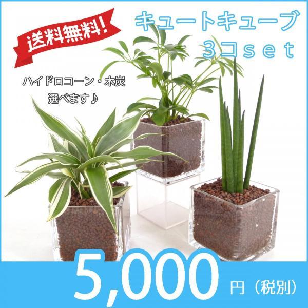 【送料無料】キュートキューブ 3鉢セット ハイドロコーン植え 炭植え 観葉植物/ハイドロカルチャー/水耕栽培/インテリアグリーン|julli