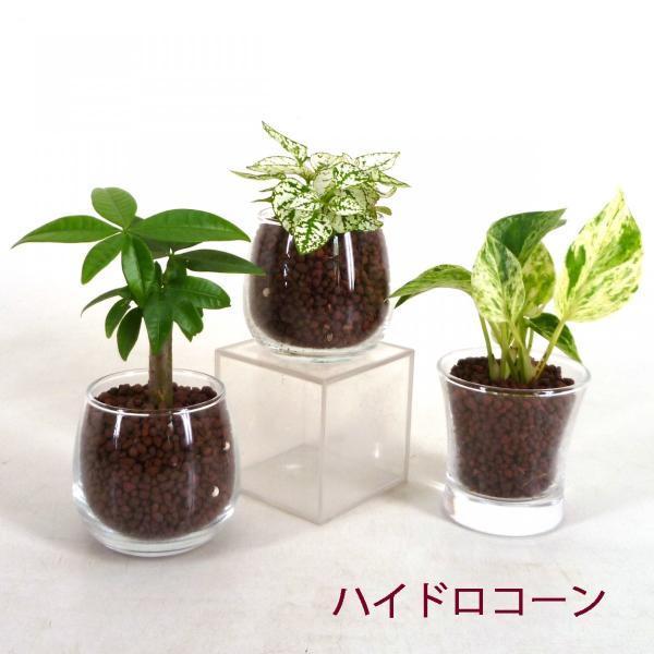 【送料無料】プチグリーン 3コセット ハイドロコーン植え 炭植え 観葉植物/ハイドロカルチャー/水耕栽培/インテリアグリーン|julli|02
