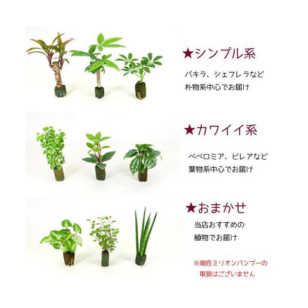 【送料無料】プチグリーン 3コセット ハイドロコーン植え 炭植え 観葉植物/ハイドロカルチャー/水耕栽培/インテリアグリーン|julli|05