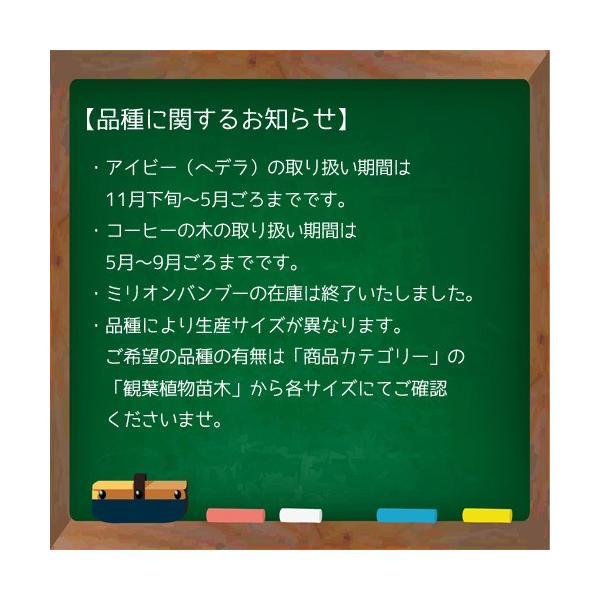 【送料無料】プチグリーン 3コセット ハイドロコーン植え 炭植え 観葉植物/ハイドロカルチャー/水耕栽培/インテリアグリーン|julli|06