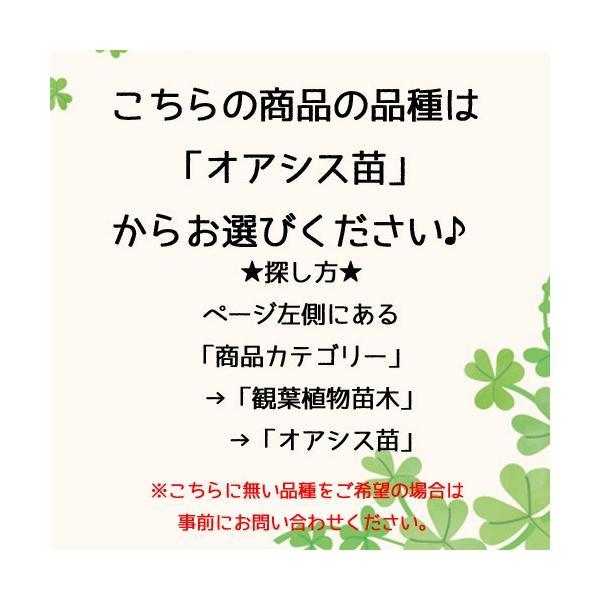 【送料無料】プチグリーン 3コセット ハイドロコーン植え 炭植え 観葉植物/ハイドロカルチャー/水耕栽培/インテリアグリーン|julli|07