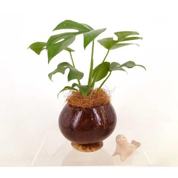ヤシの実ポット L セラミス植え 観葉植物/ハイドロカルチャー/水耕栽培/インテリアグリーン|julli|02