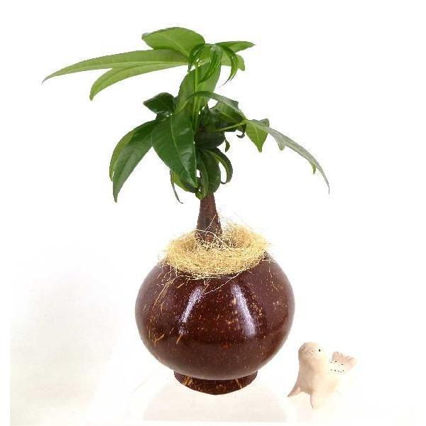 ヤシの実ポット L セラミス植え 観葉植物/ハイドロカルチャー/水耕栽培/インテリアグリーン|julli|03