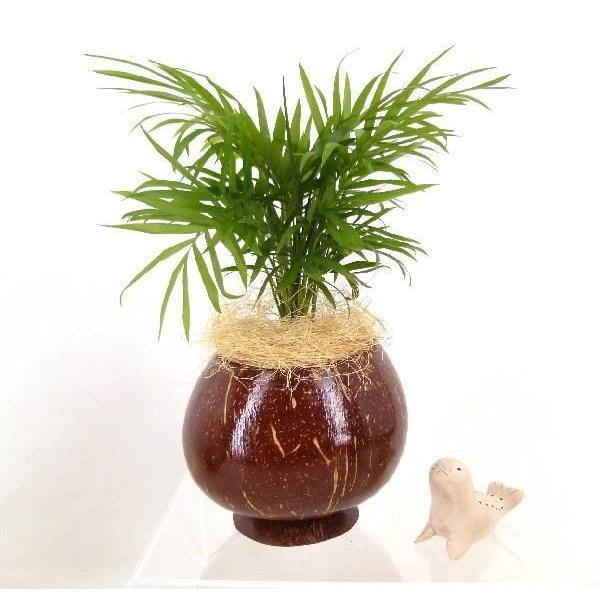 ヤシの実ポット L セラミス植え 観葉植物/ハイドロカルチャー/水耕栽培/インテリアグリーン|julli|04