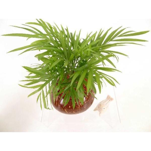 ヤシの実ポット L セラミス植え 観葉植物/ハイドロカルチャー/水耕栽培/インテリアグリーン|julli|05