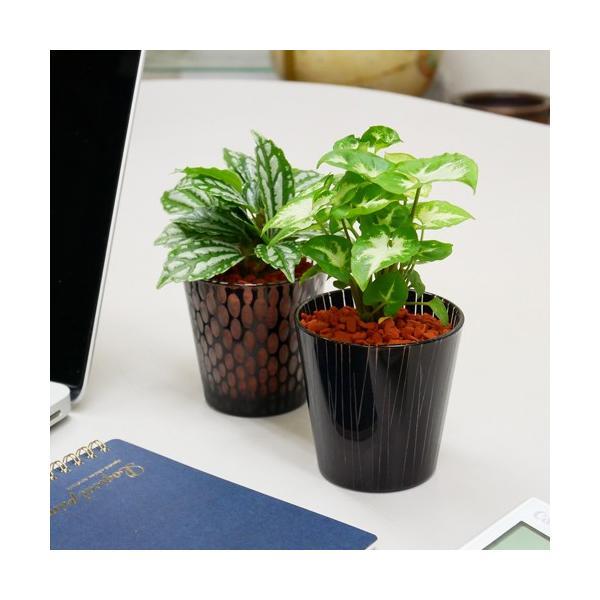 シャドーグラス セラミス植え 観葉植物/ハイドロカルチャー/水耕栽培/インテリアグリーン|julli