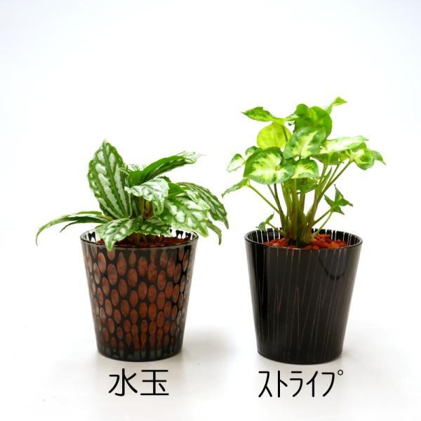 シャドーグラス セラミス植え 観葉植物/ハイドロカルチャー/水耕栽培/インテリアグリーン|julli|02