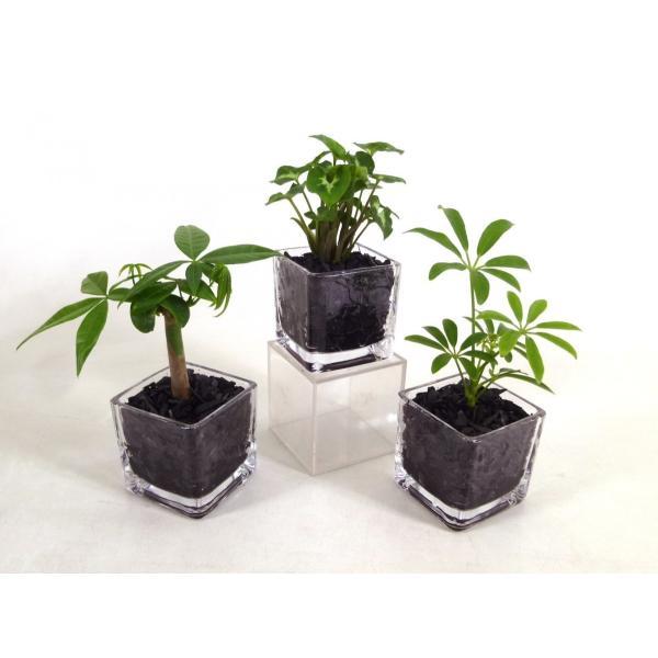 GブロックS  キューブ 3個セット 炭植え 観葉植物/ハイドロカルチャー/水耕栽培/インテリアグリーン|julli|02