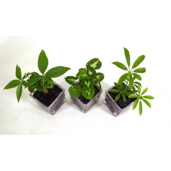GブロックS  キューブ 3個セット 炭植え 観葉植物/ハイドロカルチャー/水耕栽培/インテリアグリーン|julli|03