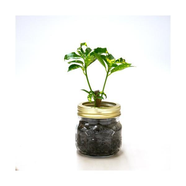 ジャーポットS 炭植え 観葉植物/ハイドロカルチャー/水耕栽培/インテリアグリーン|julli|02