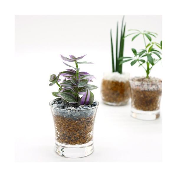 プチグリーン エコスギ植え 観葉植物/ハイドロカルチャー/水耕栽培/インテリアグリーン julli