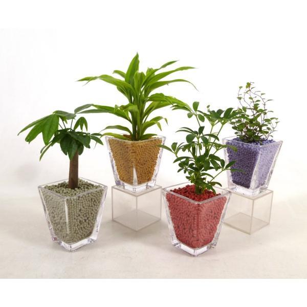 スクエアグラス リサコ植え カワラカルチャー 観葉植物/ハイドロカルチャー/水耕栽培/インテリアグリーン|julli