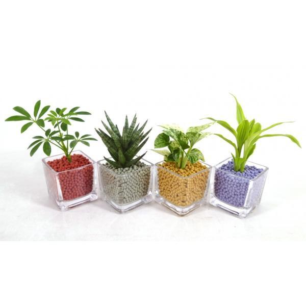 GブロックS キューブ リサコ植え カワラカルチャー 観葉植物/ハイドロカルチャー/水耕栽培/インテリアグリーン|julli|02