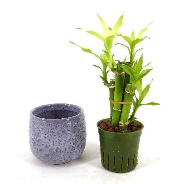 キュートえくぼの鉢 2号苗 観葉植物/ハイドロカルチャー/水耕栽培/インテリアグリーン|julli|04