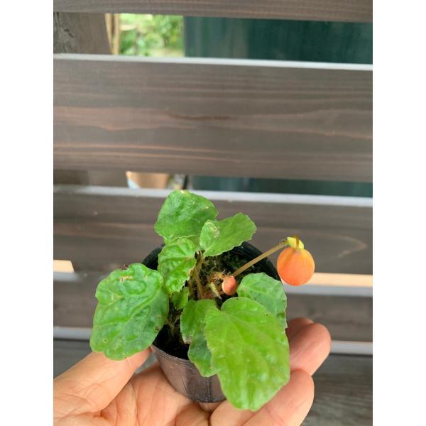 バター・カップ B.Butter cup  花、ガーデニング 観葉植物 (44700)|kagoen-nursery